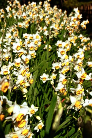 Where the wild things grow: Daffodils flower in Togoshi Park.