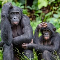 There's so much that bonobos and chimps can teach humans