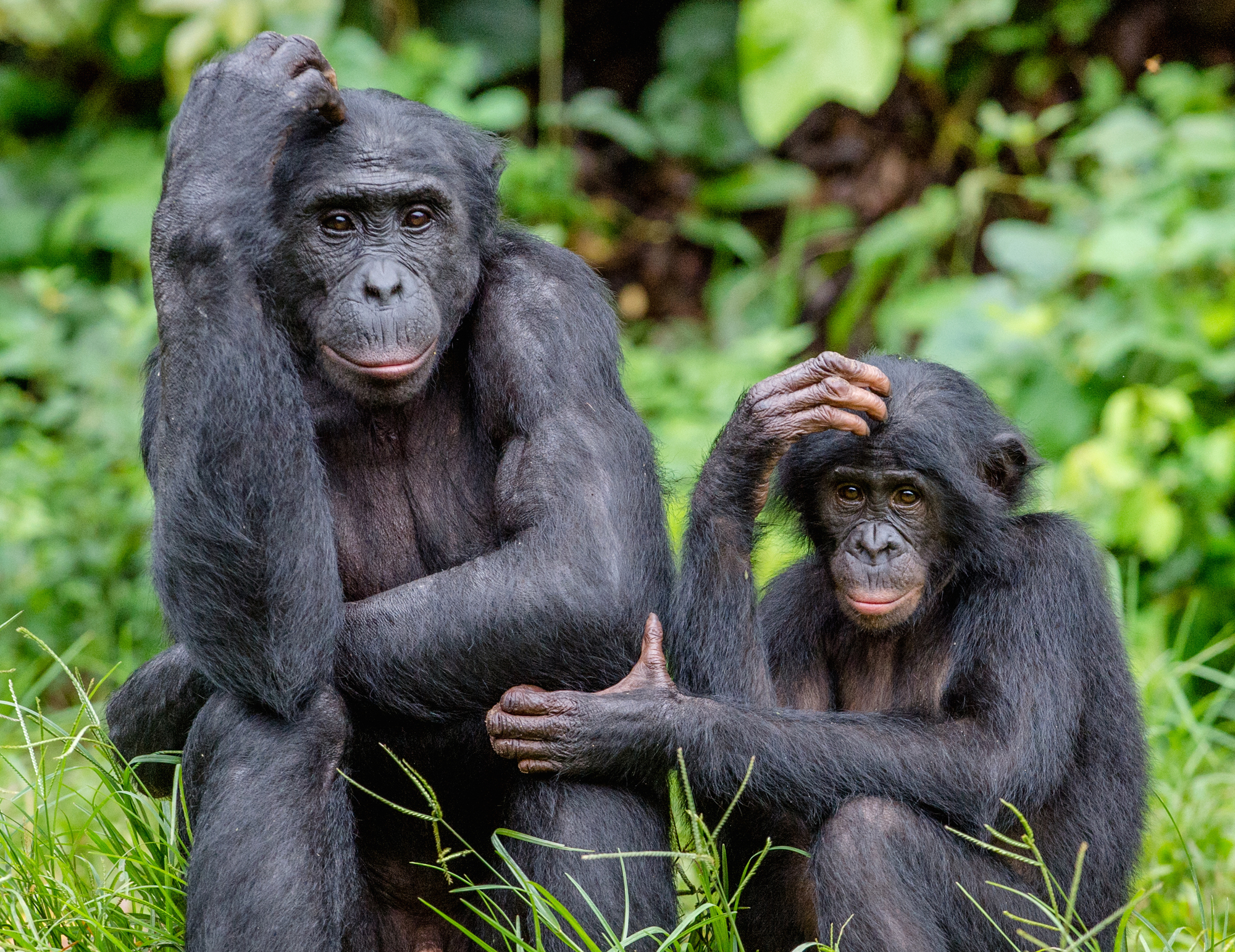Great ape gestures: Studying the behavior of bonobos in Congo can offer insight into human evolution. | GETTY IMAGES