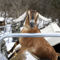 "Lincoln, the Nubian goat elected ""Pet Mayor"" for the town of Fair Haven, Vermont"