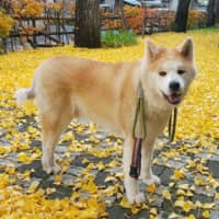 A rare breed: Akita dog to be honored for coming to the rescue of elderly woman