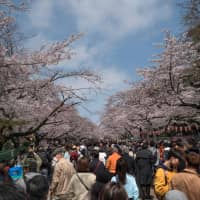 Peopel gather to view cherry blossoms in full bloom at Ueno Park in Tokyo on Sunday. | AFP-JIJI