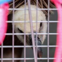 Dobrila, a female griffon vulture is seen inside a cage after arriving at the Nikola Tesla Airport in Belgrade on Friday. | REUTERS