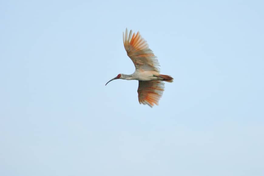 A rare toki (Japanese crested ibis) is among a few hundred that reside near and on Sado Island.