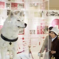 Visitors look at the stuffed body of Hachiko, a famed Akita dog, at a permanent exhibit dedicated to the breed that opened in Odate, Akita Prefecture, on Wednesday. | KYODO