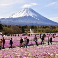 Moss pink flowers are seen in full bloom at the foot of Mount Fuji in Fujikawaguchiko, Yamanashi Prefecture, on April 28. | KYODO