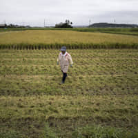 A farmer walks in a rice paddy in Katori, Chiba Prefecture, last August. Experts have found that people following a diet based on rice were less likely to be obese than those living in countries where rice consumption was low. | BLOOMBERG