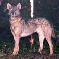 In search of Japan's extinct wolves: Sightings of a mysterious canine in Chichibu have been captivating animal enthusiasts