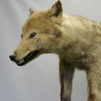 A stuffed specimen of a Japanese wolf is stored at the University of Tokyo's Faculty of Agriculture. | COURTESY OF THE UNIVERSITY OF TOKYO'S FACULTY OF AGRICULTURE
