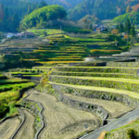 The art of the meal: The Ini Tanada terraces consist of over 320 rice paddies, and lie just an hour's drive from the Sandankyo Gorge. | ANGELES MARIN CABELLO