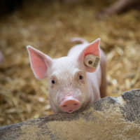 Pretty in pink: A professor at University of Tokyo hopes to grown human organs in animals such as pigs. | GETTY IMAGES
