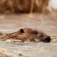 A beaver in a marsh near the Belaurusian village of Vyganashchy | REUTERS