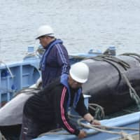 A whale captured as part of 'scientific research' is seen in Abashiri, Hokkaido, on June 1. | KYODO