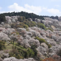 Mount Yoshino in Yoshino, Nara Prefecture, is one of the most famous cherry blossom viewing spots in Japan.
