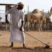 Camel dung fuels cement output in northern UAE instead of just going into landfill