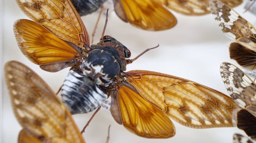The sound of summer: Love them or hate them, cicadas have a special place in Japanese culture