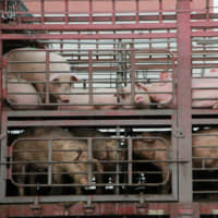 Pigs are seen on the back of a truck outside a slaughterhouse in Dongguan, in southern China's Guangdong province, in December 2017. | REUTERS