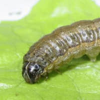 Crop-damaging fall armyworms found in Japan for first time
