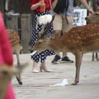 A deer picks up garbage from the ground last month in Nara Park in the city of Nara. Numerous plastic bags were found in the stomachs of more than half of the 14 wild deer that have recently died in the park. | KYODO