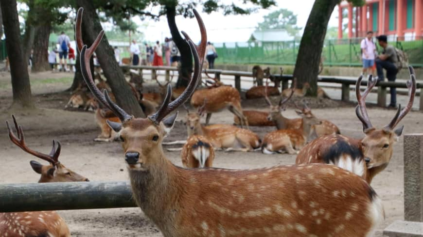 Deer population in Nara Park at record size despite deaths from illness, accidents and plastic