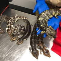 These bobtail lizards were confiscated from two Japanese men who have been convicted of attempting to smuggle them out of Australia. | AUSTRALIAN BORDER FORCE / VIA KYODO