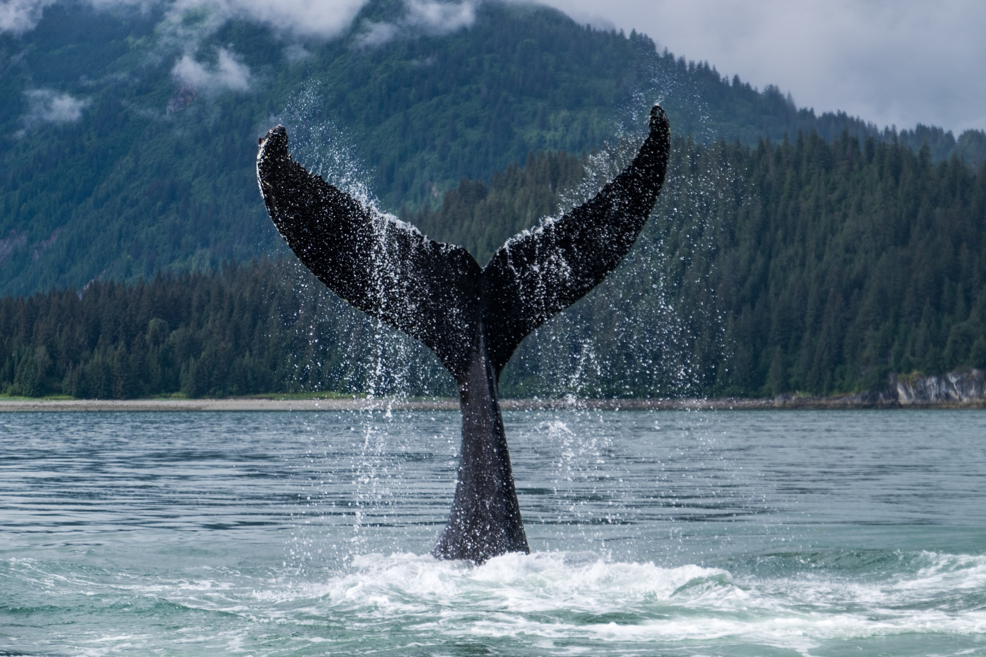 Telling tails: A humpback whale shows its fluke off the Alaska coast. | GETTY IMAGES