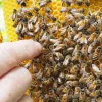 A beekeeper points at a queen bee in a hive. | JOHN SPIRI