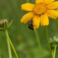 It has been estimated that bees perform about 80 percent of all pollination worldwide. | RICHARD LEMMER