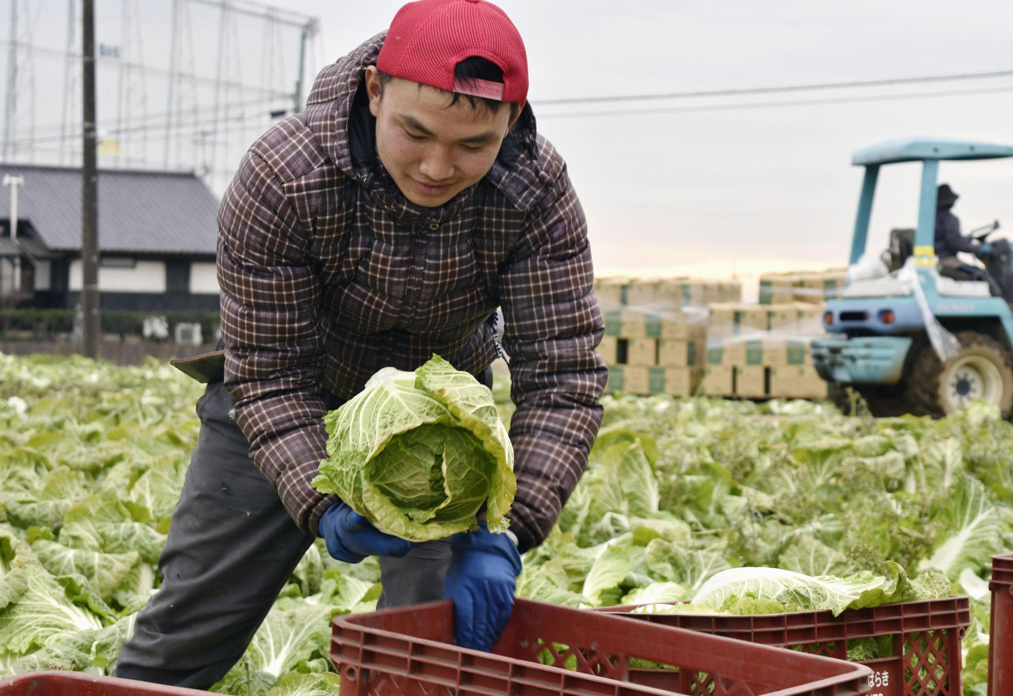 A foreign technical trainee from Vietnam harvests cabbages in Joso, Ibaraki Prefecture, in January. | KYODO