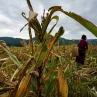 Crop invaders: China's small farmers struggle to defeat flying pest fall armyworm