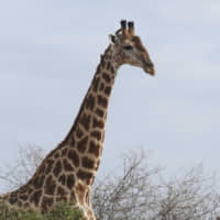 International giraffe trade to be regulated for the first time