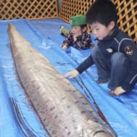 Oarfish, a deep-sea fish species known as ryūgū no tsukai in Japanese and seen in this photo taken in April in Uozu, Toyama Prefecture, were found that month off the coast of Toyama Bay. | KYODO