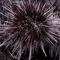 Fuji Oil Holdings Inc. has developed the world's first imitation uni, the orange innards of sea urchins like the one above.   BLOOMBERG