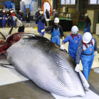 Fisheries workers process a whale at Kushiro port in eastern Hokkaido on July 1 after Japan resumed commercial whaling for the first time in 31 years. | KYODO