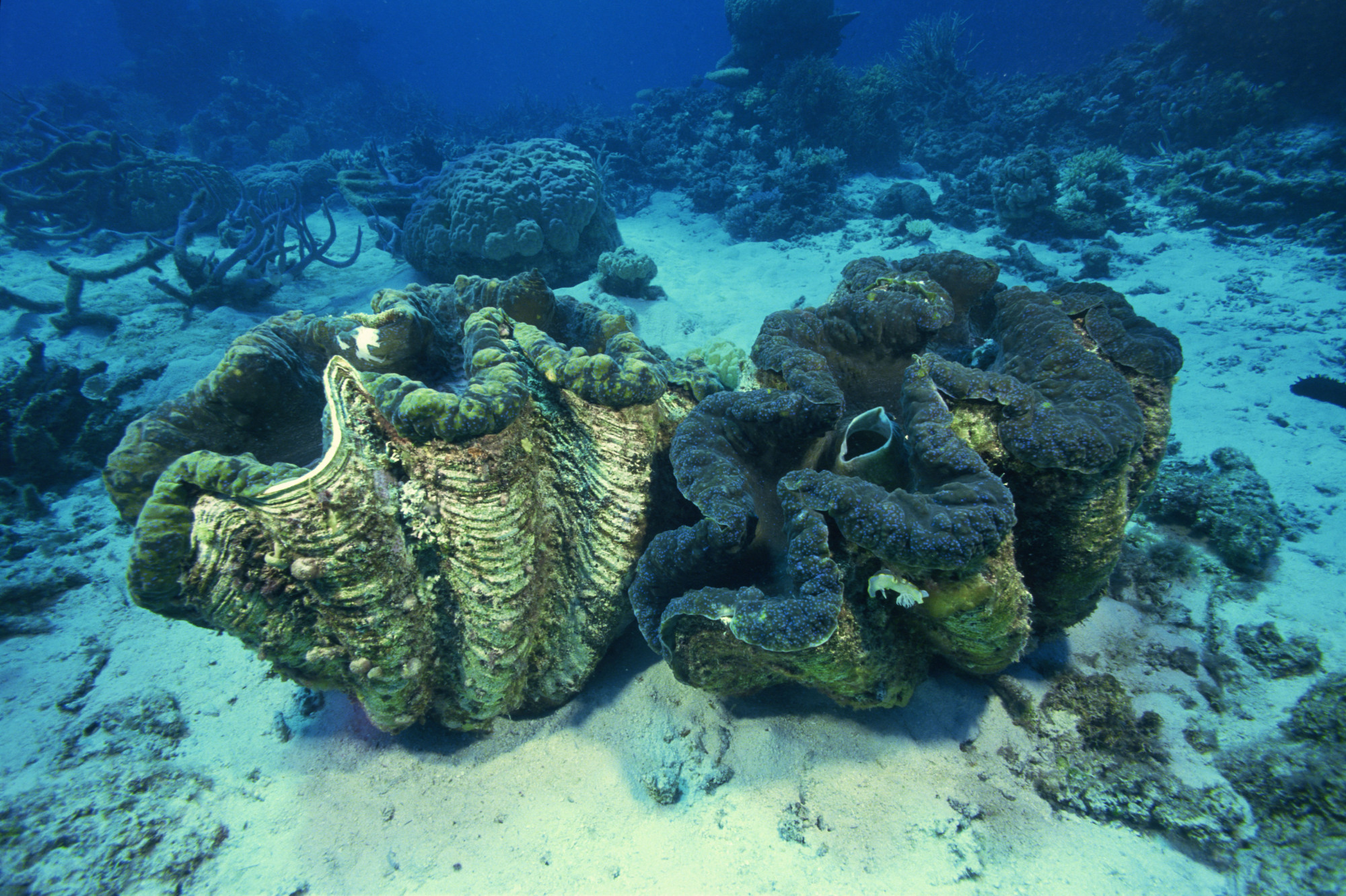 The shells of giant clams can be worth a fortune in China, and has led to fleets of Chinese fishermen taking them illegally from contested waters in the South China Sea. | GETTY IMAGES