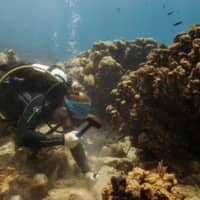 As new disease wipes out Caribbean coral, scientists tear up reefs to stop the spread