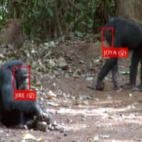 An artificial intelligence succeeds in automatically recognizing the faces of wild chimpanzees. | TETSURO MATSUZAWA / VIA KYODO