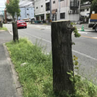 Plan to cut down ginkgo trees in Fukuoka to improve wheelchair access sparks backlash