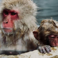 Monkeys with manners: The Joshinetsukogen National Park is home to Japan's celebrated hot-spring bathing macaques. | OSCAR BOYD