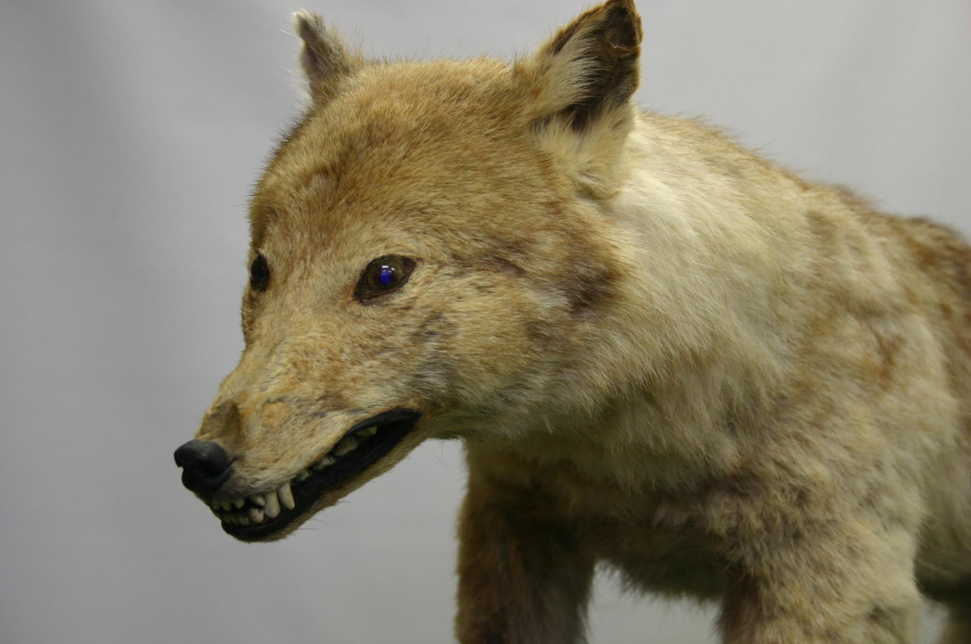 A stuffed specimen of the Japanese wolf sits on display at the University of Tokyo's Faculty of Agriculture. | COURTESY OF THE UNIVERSITY OF TOKYO'S FACULTY OF AGRICULTURE