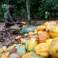 Against the tide, cocoa growers plan to suspend ethical programs