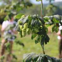 Hop cones are shown growing in Tono, Iwate Prefecture, on Sept. 4. | KYODO