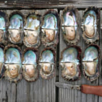 A line of dead Akoya pearl oysters (top) is shown next to a line of live, healthy ones. | EHIME PREFECTURE / VIA KYODO