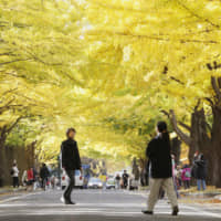 A row of ginkgo trees at Hokkaido University. Chinese authorities last month detained a Japanese professor from the university, sources have said, with the man, who is in his 40s, apparently being suspected of spying. | KYODO