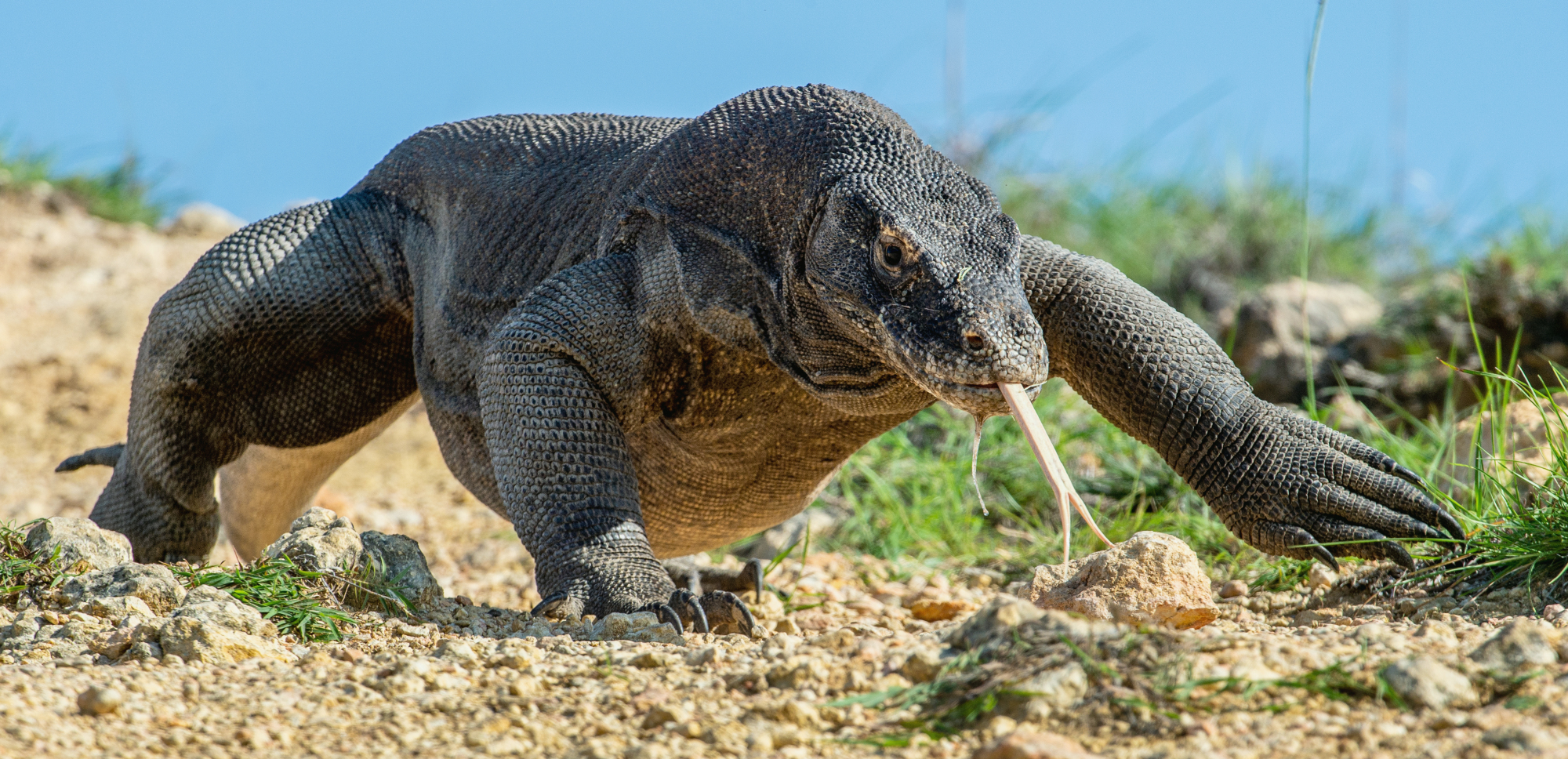 If fewer people get a chance to see Komodo island's dragons, they will have a chance to thrive. | GETTY IMAGES