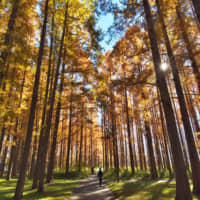 Fringe forest: Mizumoto Park in Tokyo's Katsushika Ward is home to a mixture of trees including sweetgum, poplar and ginkgo as well as a variety of trails running through woodland and along the Oba River. | TOKYO METROPOLITAN PARK ASSOCIATION