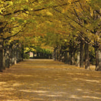 An avenue of ginkgo at Tachikawa's Showa Memorial Park | GETTY IMAGES