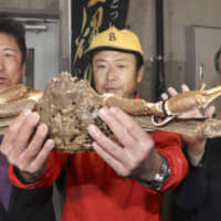 A man shows off a snow crab that was priced at a whopping ¥5 million during the first auction of the season at Tottori port on Thursday. | KYODO