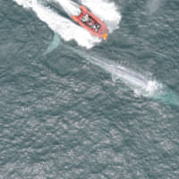 Researchers from Stanford University's Goldbogen Lab, Cascadia Research, Scripps Institution of Oceanography and the University of California Santa Cruz place a suction-cup tag on a blue whale as part of research to measure the animal's heart rate, in an undated photo taken in Monterey Bay, California. | COURTESY OF GOLDBOGEN LAB/DUKE MARINE ROBOTICS AND REMOTE SENSING LAB / NMFS PERMIT 16111 / HANDOUT / VIA REUTERS