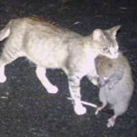 A cat captures a Ryukyu long-haired rat, a rare species, on Tokunoshima Island in Kagoshima Prefecture in June 2018. | FORESTRY AND FOREST PRODUCTS RESEARCH INSTITUTE / VIA KYODO